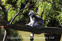 Black and White Lemur