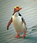 Copyright: Penguin Place. Yellow-Eyed Penguin, Dunedin