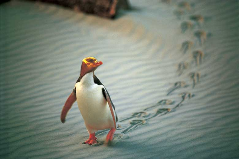 The rare Yellow-Eyed Penguin, Dunedin. Copyright: Penguin Place