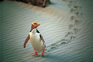 Copyright: Tourism New Zealand. Penguins in Otago, New Zealand